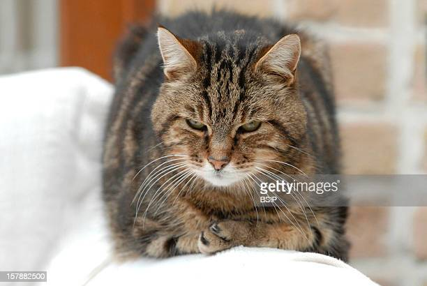 Domestic Cat Male Adult Tabby Cat Lying Down On The ArmRest Of An Armchair Male