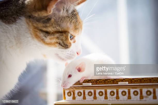 domestic cat meeting white rat - lena spoof stock pictures, royalty-free photos & images