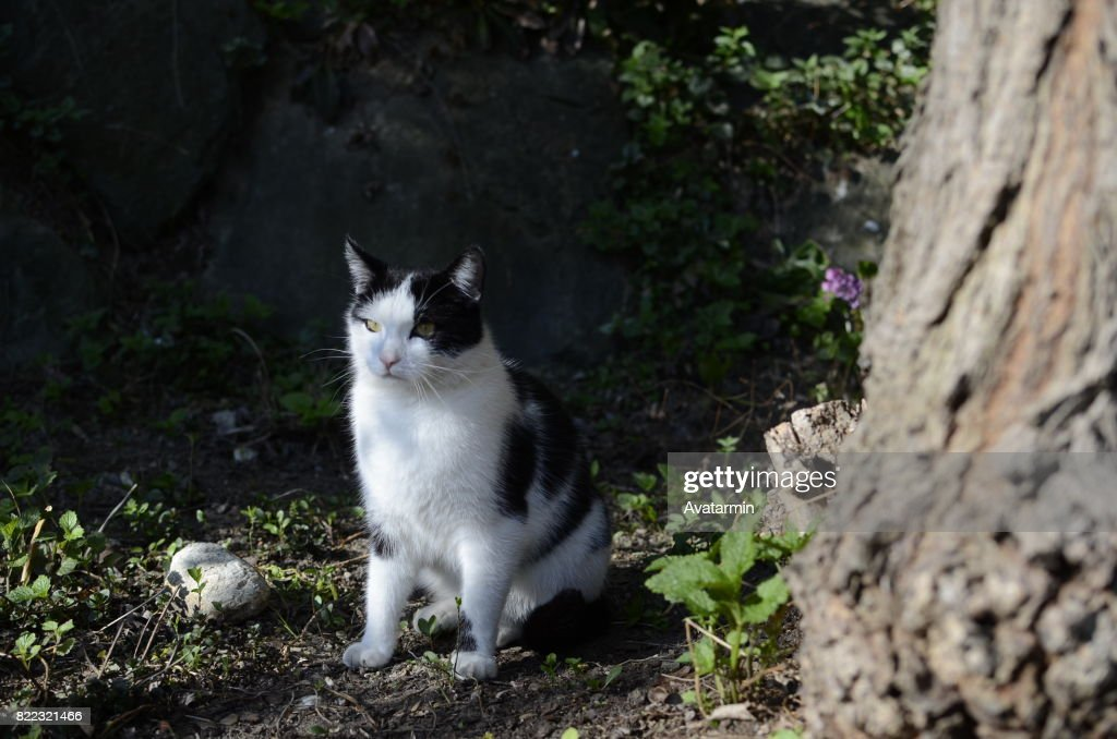 domestic cat : Stock Photo