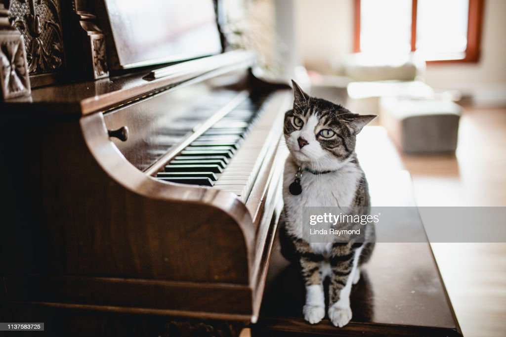 Domestic cat playing piano : Stock Photo