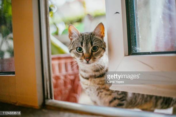 domestic cat portrait - domestic animals stock pictures, royalty-free photos & images