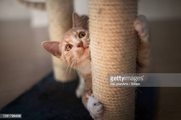 domestic cat scratching against post of cat tree,hakadal,norway - images stock pictures, royalty-free photos & images