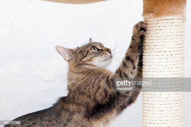 Domestic cat sharpening her claws, side view