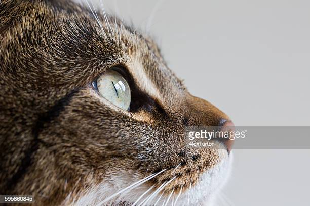 Domestic cat side portrait looking up
