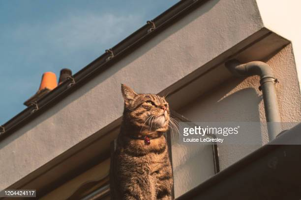 domestic cat siting on a rooftop - tabby stock pictures, royalty-free photos & images