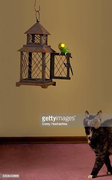 Domestic Cat Stalking Budgerigar