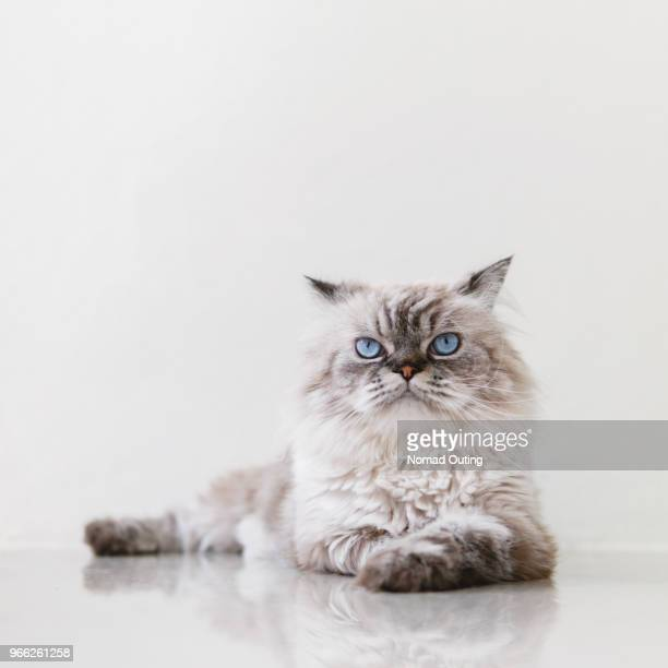 domestic cat,gray fur cat. - purebred cat stock pictures, royalty-free photos & images