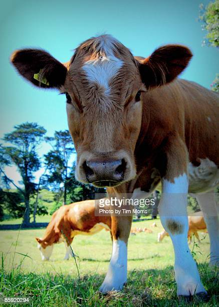 Domestic cattle
