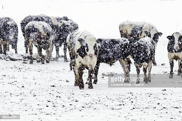 Domestic Cows On Snow Field During Blizzard
