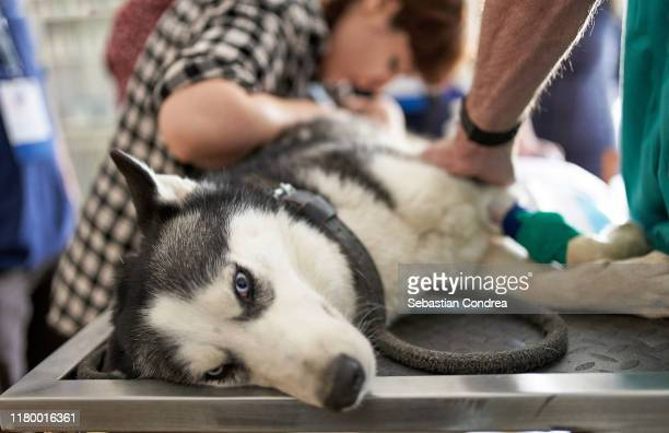 domestic dog at ultrasound diagnostic doctor veterinary control campaign. - female torture stock pictures, royalty-free photos & images