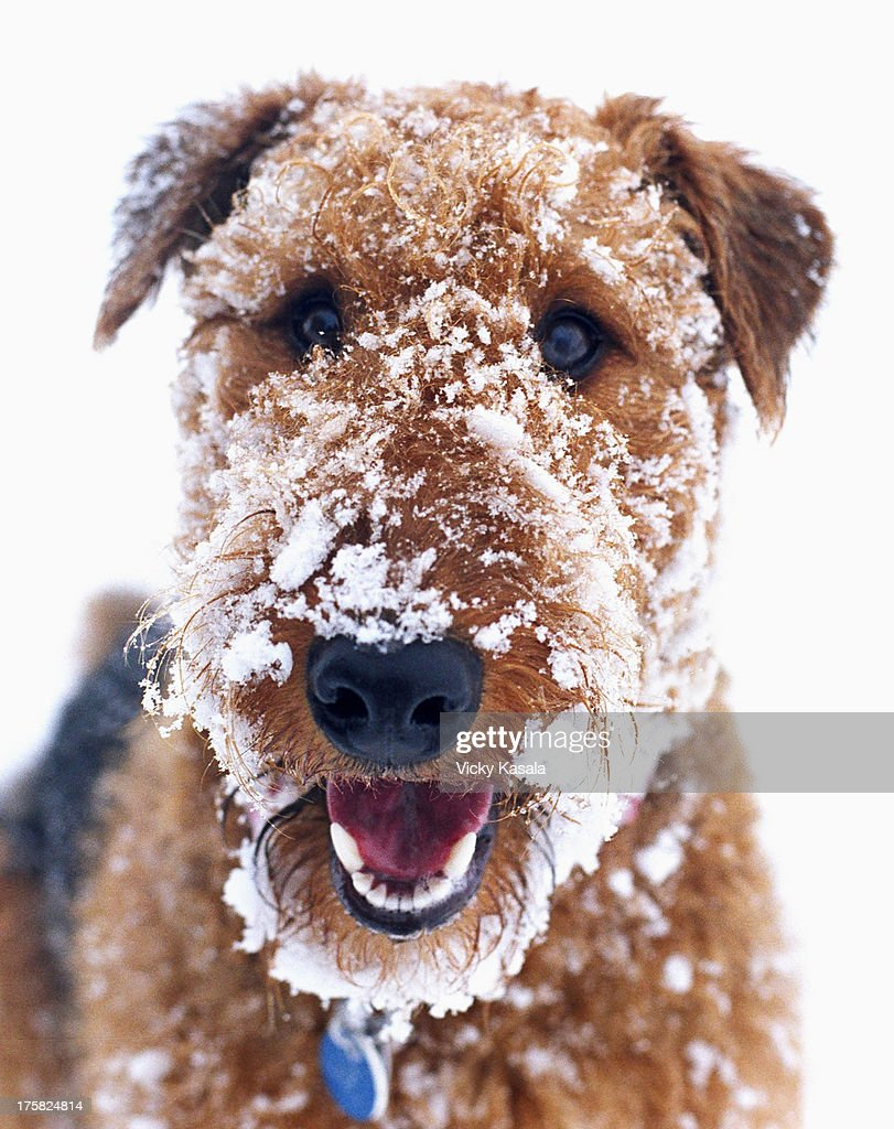 Domestic dog covered in snow : Stock Photo