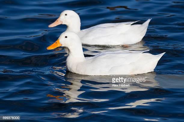 domestic duck (anas platyrhynchos), uk - germano reale foto e immagini stock