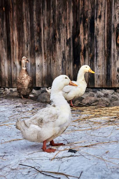 Domestic ducks in a farm courtyard.