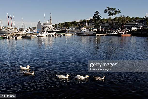 Domestic ducks in harbor Camden Maine Coast New England USA