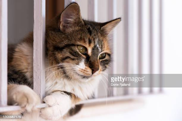 domestic, female cat looking out from a window between light colored iron bars - dorte fjalland stock pictures, royalty-free photos & images