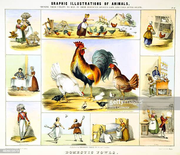 'Domestic Fowl' c1850 The central image shows a cockerel hens and chicks Surrounding vignettes show buying and selling chickens at market a farmer's...