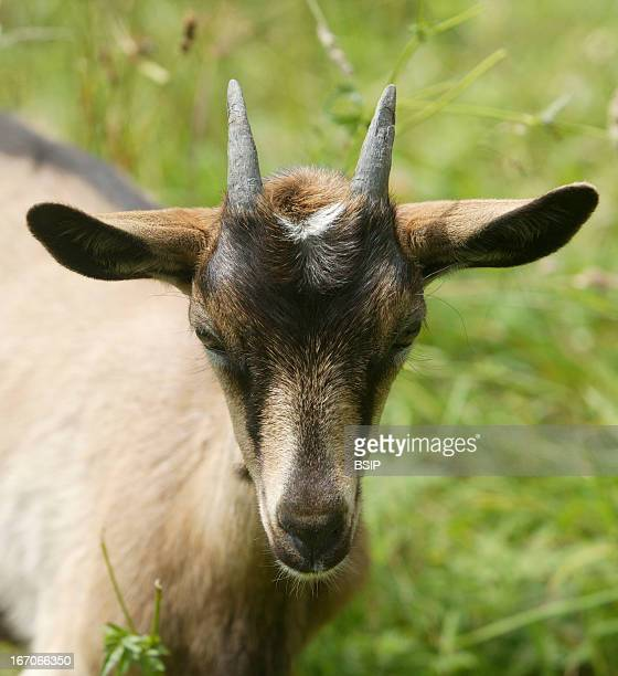 Domestic goat Mountain goat in France