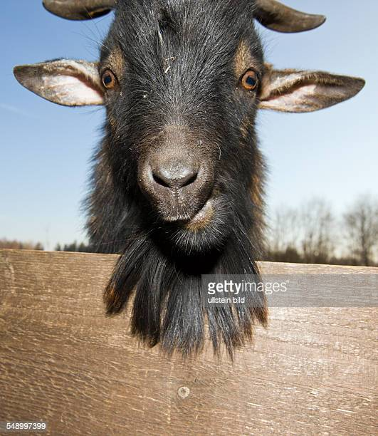 Domestic goat portrait Capra hircus Germany Bavaria