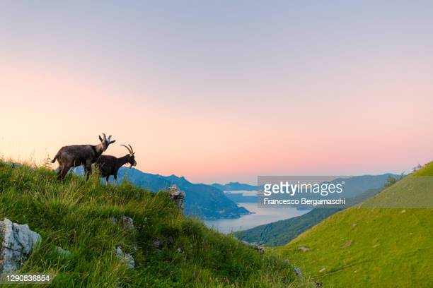 domestic goats at sunrise with lake como in the background - 動物の行動 ストックフォトと画像