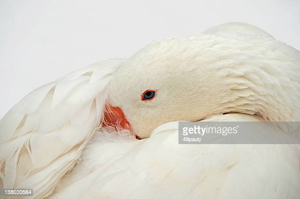 Domestic Goose head in the snow