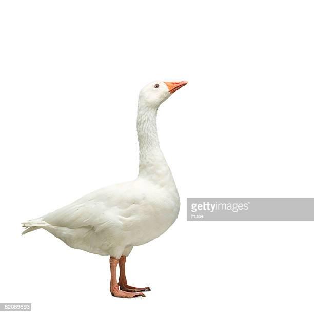 domestic goose - nutztier oder haustier stock-fotos und bilder