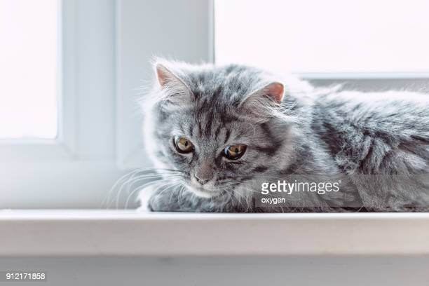 domestic gray kitten sleeping on tile windowsill - domestic life imagens e fotografias de stock