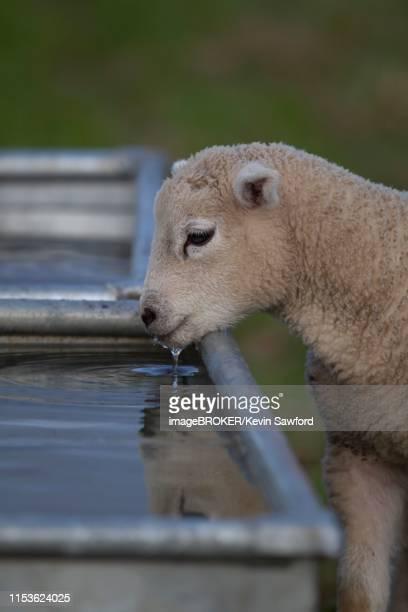 domestic lamb (ovis aries) drinking from a trough, suffolk, england, united kingdom - 飼い葉桶 ストックフォトと画像