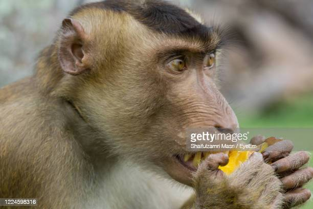domestic macaque monkey eating a star fruit in kota baharu, malaysia - shaifulzamri stock pictures, royalty-free photos & images