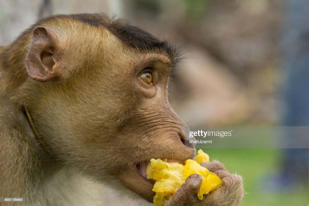 Domestic macaque monkey eating a star fruit in Kota Baharu, Malaysia : Stock Photo