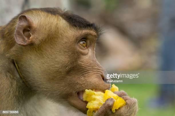Domestic macaque monkey eating a star fruit in Kota Baharu, Malaysia