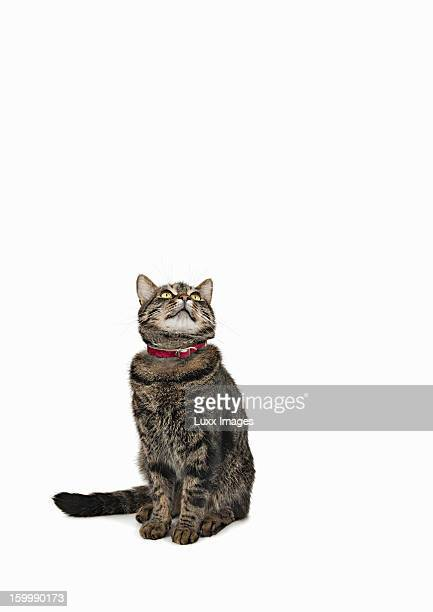 Domestic male tabby cat looking up