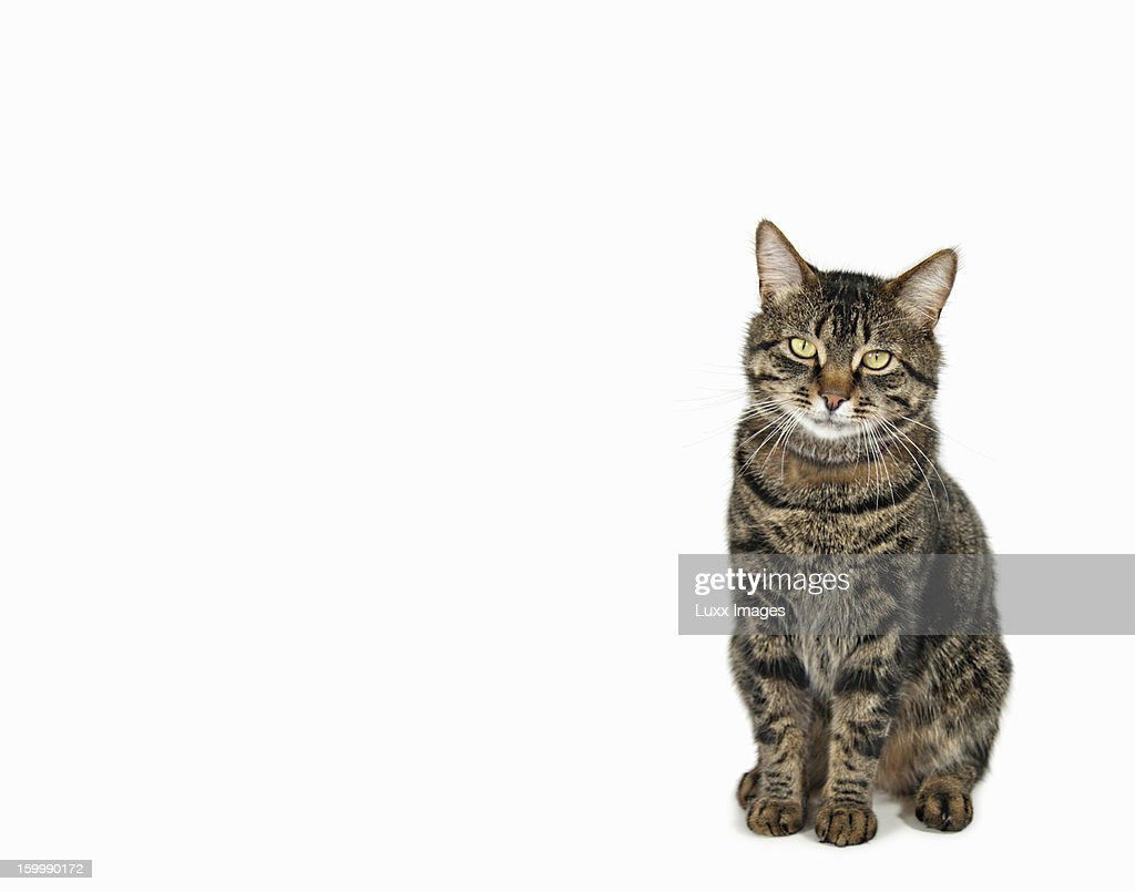Domestic male tabby cat sitting : Stock Photo