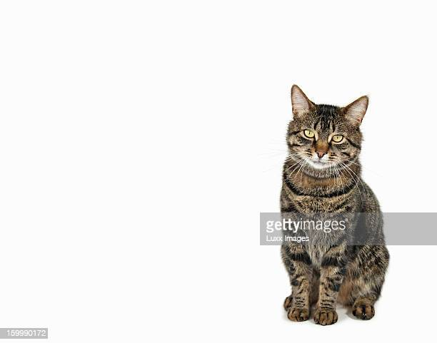 Domestic male tabby cat sitting
