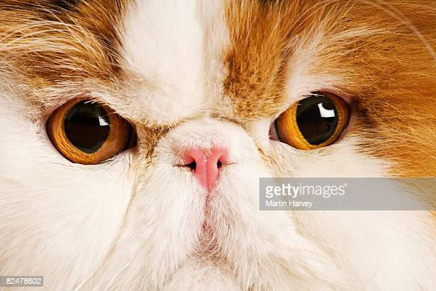 Domestic Persian cat against white background.