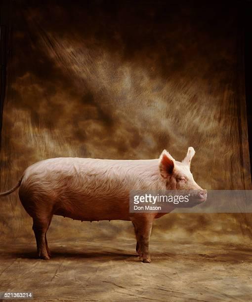 domestic pig in studio - 雌豚 ストックフォトと画像