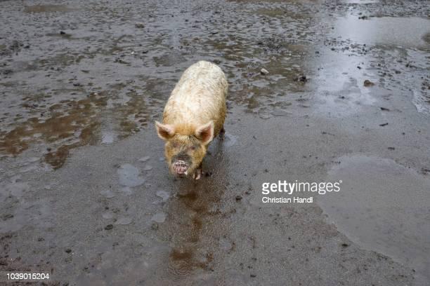 Domestic Pig (Sus scrofa domestica) in the mud on a farm near Lago Todos los Santos, Region de los Lagos, Chile