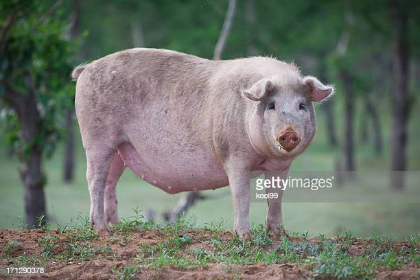 domestic pig - one animal stock pictures, royalty-free photos & images