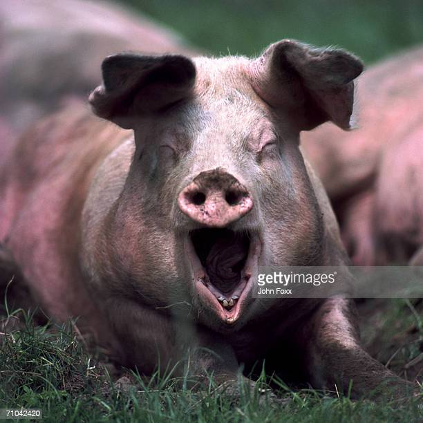 domestic pig screaming