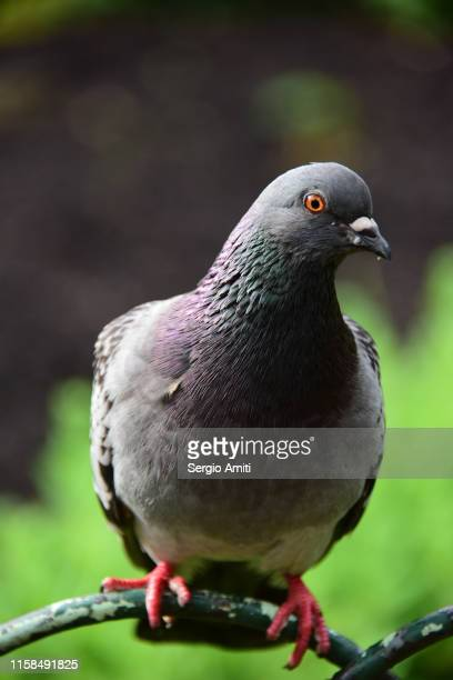 domestic pigeon - pigeon stock pictures, royalty-free photos & images