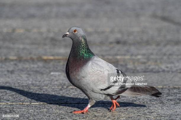 a domestic pigeon walking on the city floor. - pigeon stock pictures, royalty-free photos & images