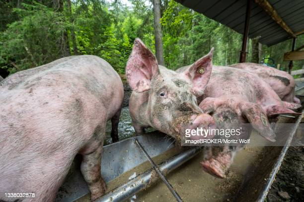 domestic pigs (sus scrofa domesticus) at a trough in an outdoor enclosure, allgaeu, bavaria, germany - pigs trough stock pictures, royalty-free photos & images