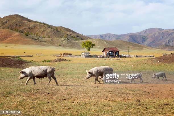 モンゴル・ファームハウスの家畜豚 - 内モンゴル自治区 ストックフォトと画像