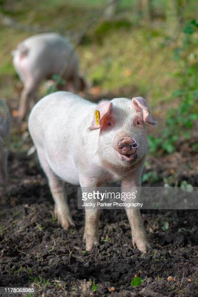 domestic pigs released in the new forest national park, hampshire, uk to eat the acorns, a practise known as pannage - releasing stock pictures, royalty-free photos & images