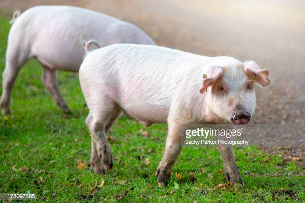 domestic pigs released in the new forest national park, hampshire, uk to eat the acorns, a practise known as pannage - animal doméstico fotografías e imágenes de stock