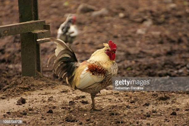 Small Cock Stock Photos And Pictures  Getty Images-7670