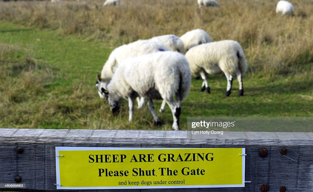 Domestic sheep grazing in gated field : Stock Photo