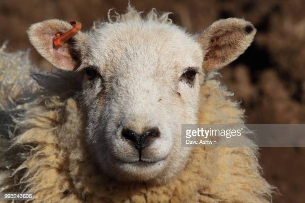 domestic sheep ovis aries ruminant mammal - dave ashwin stock pictures, royalty-free photos & images