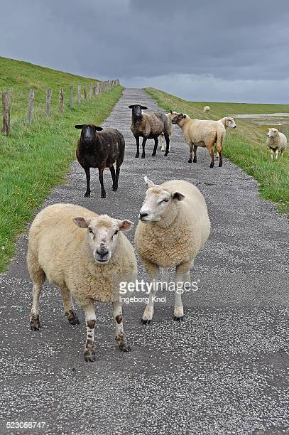 Domestic Sheep -Ovis orientalis Aries- on a dyke on Foehr, North Frisian Island, Schleswig-Holstein, Germany, Europe