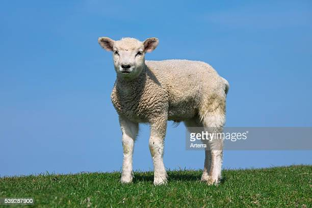 Domestic sheep portrait of white lamb in meadow Germany