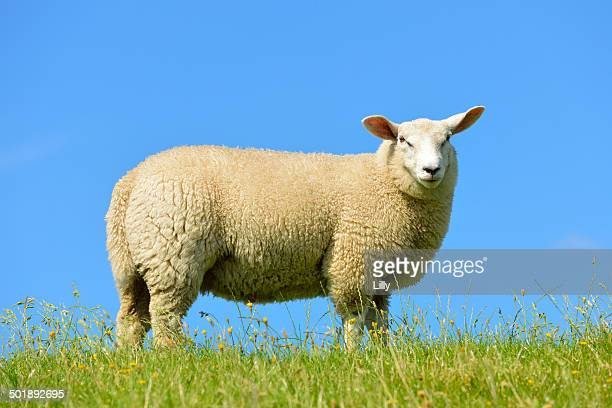 domestic sheep, westerhever, north frisia, schleswig-holstein, northern germany, germany, europe - schleswig holstein stock pictures, royalty-free photos & images